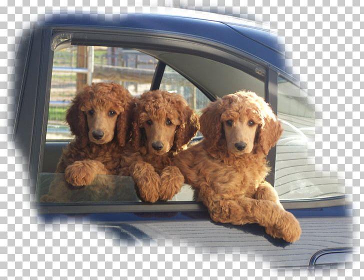 Standard Poodle Miniature Poodle Toy Poodle Goldendoodle