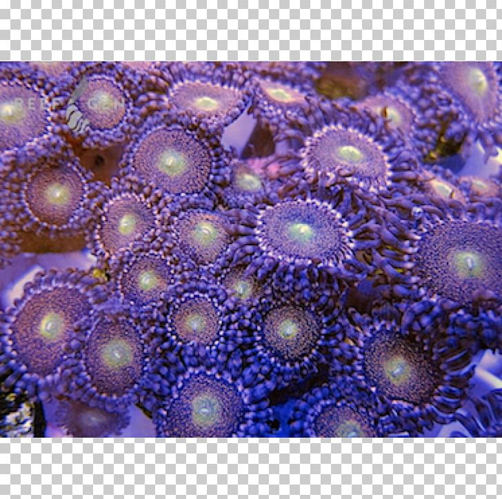 Stony Corals Sea Anemone Coral Reef PNG, Clipart, Anemone, Cnidaria, Coral, Coral Reef, Invertebrate Free PNG Download