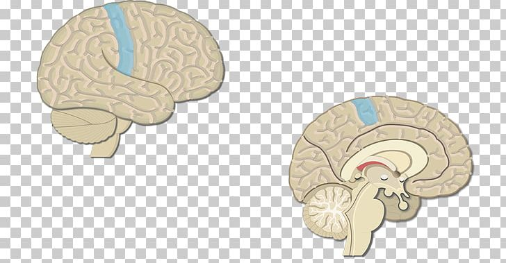 Brain Visual Cortex Cerebral Cortex Primary Motor Cortex PNG, Clipart, Brain, Cerebral Cortex, Cerebral Hemisphere, Dorsum, Gyrus Free PNG Download
