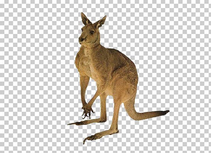 Christmas Kangaroo Cartoon.Australia Cat Red Kangaroo Tail Png Clipart Animal