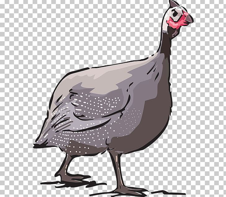 Chicken Domestic Guineafowl Turkey Keeping Guinea Fowl Png