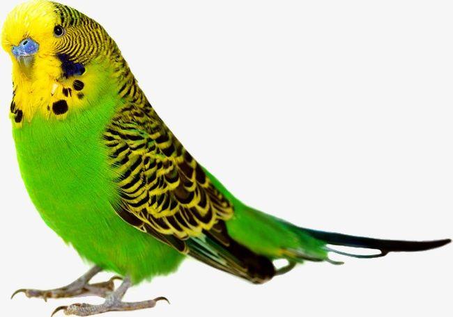Parrot PNG, Clipart, Animal, Animals, Bako, Bako Clipart, Bako Clipart Free PNG Download