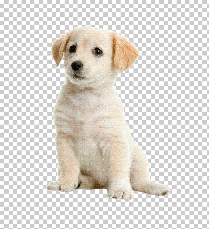 Labrador Retriever Golden Retriever Puppy Kooikerhondje Labradoodle Png Clipart Animals Boston Terrier Carnivoran Companion Dog Dog