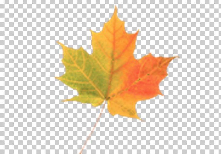 Maple Leaf Autumn PNG, Clipart, Android, Autumn, Autumn Leaf Color, Autumn Promotion, Download Free PNG Download