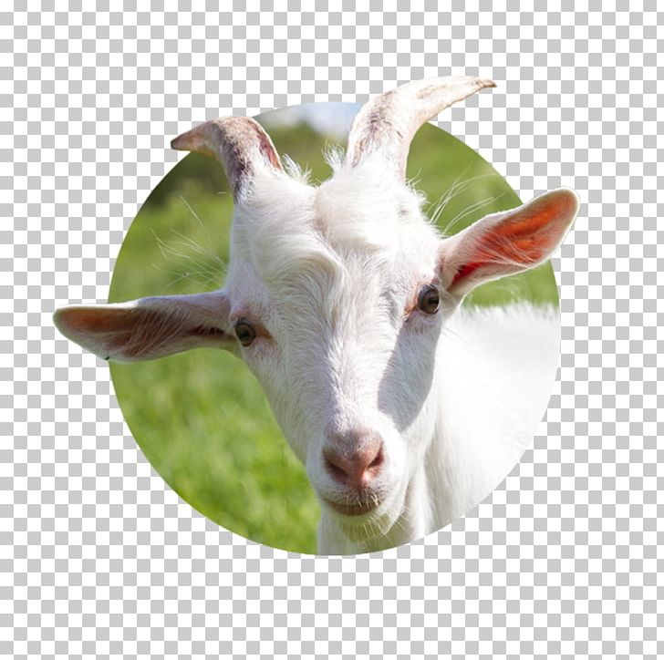 Goat Milk Goat Cheese Sheep Cattle PNG, Clipart, Animals, Caprinae, Cattle, Cow Goat Family, Domestic Animal Free PNG Download
