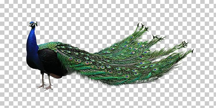 Bird Asiatic Peafowl PNG, Clipart, Animals, Asiatic Peafowl, Beak, Bird, Computer Icons Free PNG Download