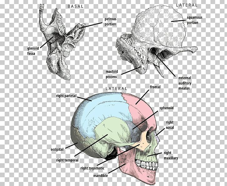 Petrous Part Of The Temporal Bone Frontal Bone Temporal Lobe PNG, Clipart, Anatomy, Angle, Automotive Design, Bone, Brain Free PNG Download