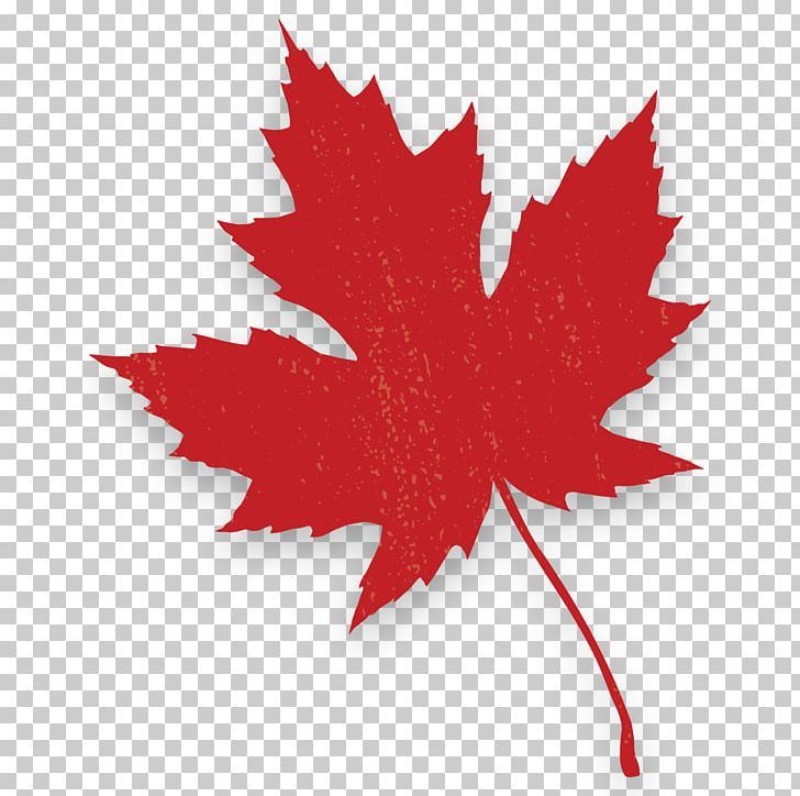 Red Maple Canada Maple Leaf Autumn Leaf Color PNG, Clipart, Acer Japonicum, Autumn Leaf Color, Bunch, Canada, C M Free PNG Download
