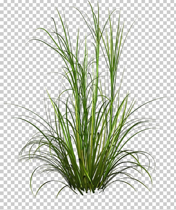 Purple Fountain Grass Pennisetum Alopecuroides Plant PNG, Clipart, Chrysopogon Zizanioides, Desktop Wallpaper, Digital Image, Download, Effect Elements Free PNG Download