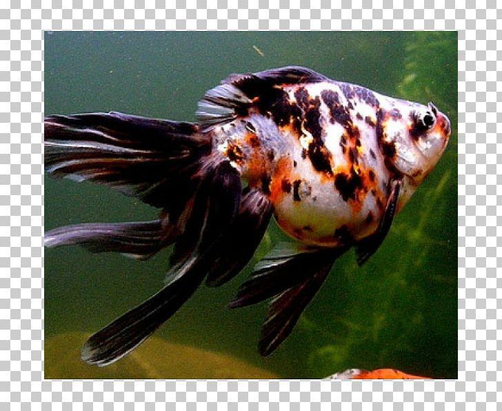 Fantail Comet Ryukin Shubunkin Veiltail PNG, Clipart, Animals, Aquarium, Bony Fish, Breed, Bubble Eye Free PNG Download