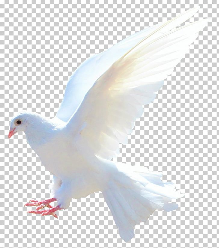 Rock Dove Columbidae Bird Flight Sparrow PNG, Clipart, Advertising, Animals, Beak, Bird, Bird Flight Free PNG Download