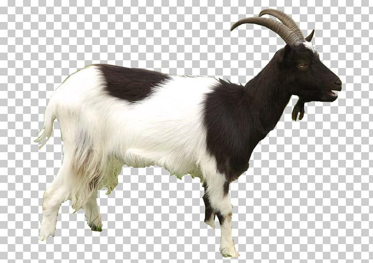 Ary Cattle Farm Goat — Smarthouse