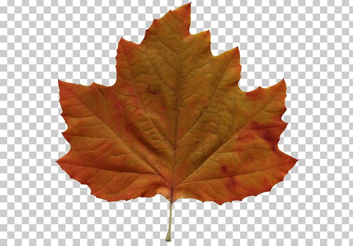 Autumn Leaf Color Amazing Autumn PNG, Clipart, Amazing, Amazing Autumn, Android, Autumn, Autumn Leaf Color Free PNG Download