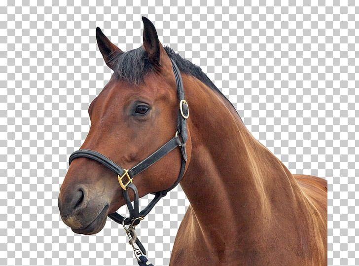Stallion Arabian Horse Equestrian Horse Head Mask Png Clipart