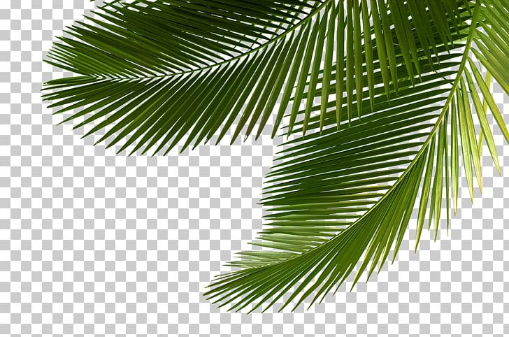 Arecaceae Asian Palmyra Palm Leaf Tree Sabal Palm PNG, Clipart, Arecaceae, Arecales, Asian Palmyra Palm, Borassus, Borassus Flabellifer Free PNG Download