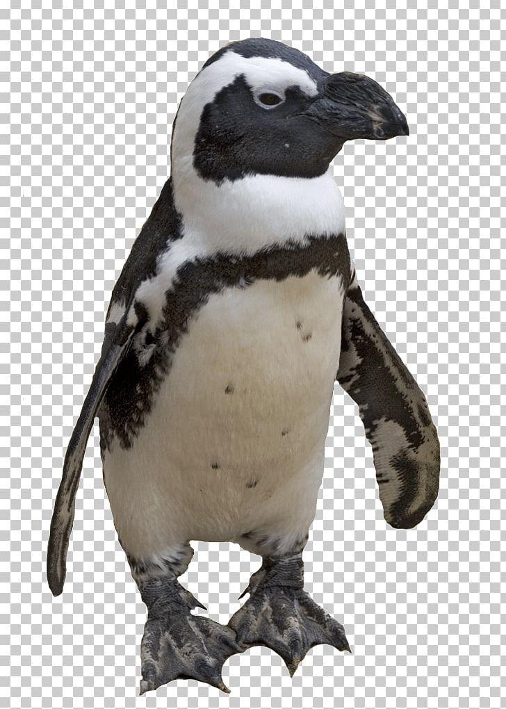 Penguin Computer File PNG, Clipart, Animals, Beak, Biodiversidad, Biology, Bird Free PNG Download