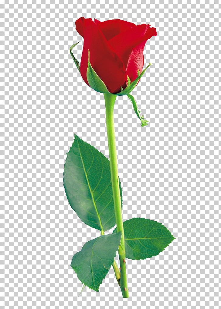 Rose Icon PNG, Clipart, Bud, Clipart, Cut Flowers, Download, Flower Free PNG Download