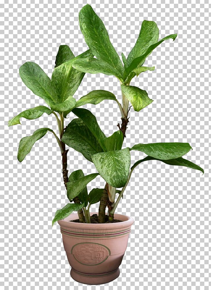 Devil's Ivy Houseplant PNG, Clipart, Beautiful, Computer ... on bromeliads house plant, white butterfly house plant, marble queen house plant, white house with green leaf plant, dumb cane house plant, ferns house plant, chinese evergreen house plant, dragon's tongue plant, take care pothos plant, poison ivy's plant, chinese evergreen indoor plant, different types house plant, heart leaf philodendron house plant, big house with green leaves plant,