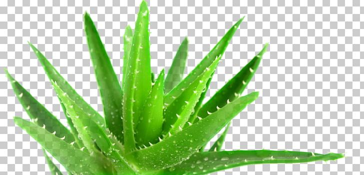 aloe vera png aloe vera plant medicine forever living products health png