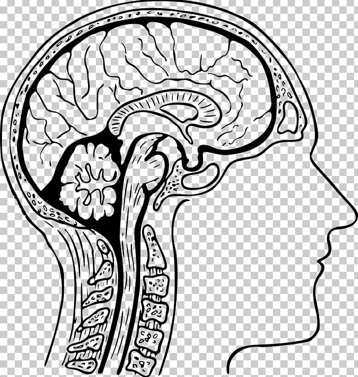 The Human Brain Coloring Book Drawing PNG, Clipart, Anatomy, Area ...