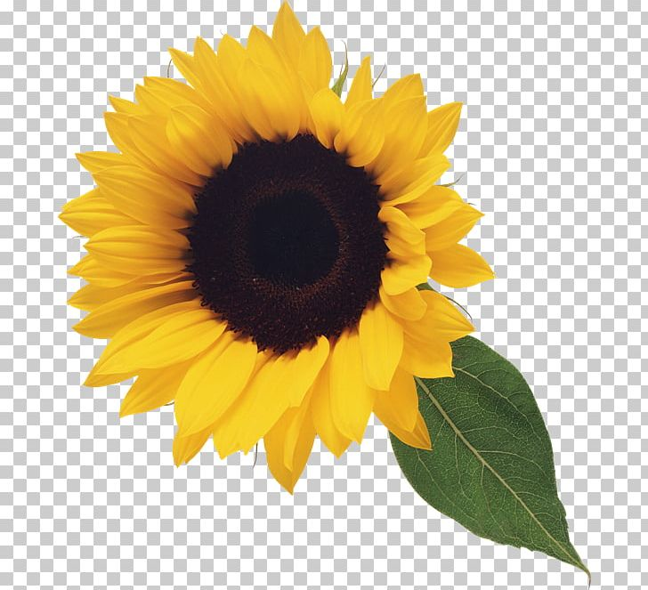 Stock Photography PNG, Clipart, Clipart, Clip Art, Common Sunflower, Computer Icons, Daisy Family Free PNG Download