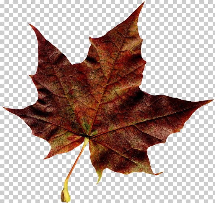 Maple Leaf Autumn PNG, Clipart, Autumn, Autumn Leaf Color, Deciduous, Download, Flag Of Canada Free PNG Download