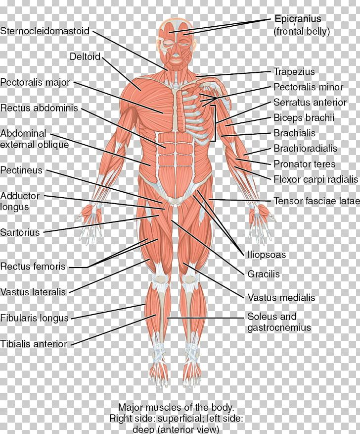 Human Body Skeletal Muscle Human Skeleton Anatomy PNG