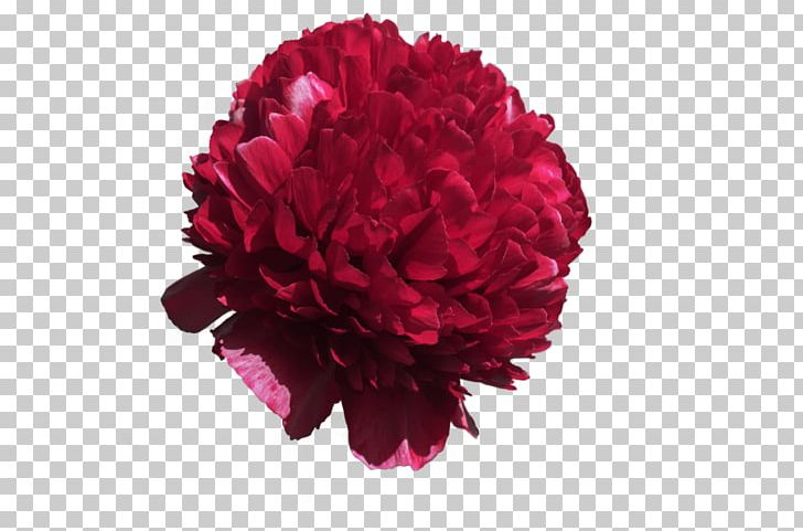 Cut Flowers Rose Floristry PNG, Clipart, Blossom, Carnation, Cut, Cut Flowers, Cut Out Free PNG Download