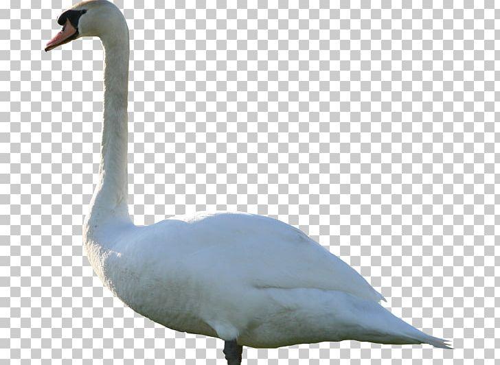 Goose Mute Swan Duck PNG, Clipart, Anatidae, Animals, Background, Beak, Bird Free PNG Download