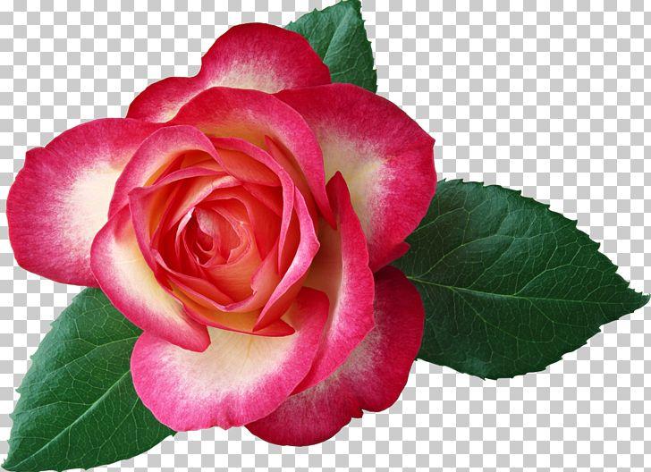 Rose Flower Red Leaf PNG, Clipart, Blue Rose, Camellia, China Rose, Cut Flowers, Desktop Wallpaper Free PNG Download