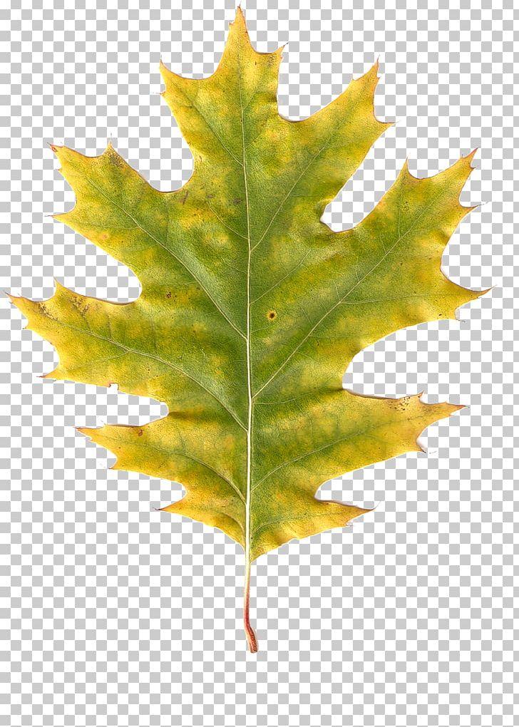 Maple Leaf Autumn Leaves Autumn Leaf Color PNG, Clipart, Autumn, Autumn Leaf Color, Autumn Leaves, Branch, Leaf Free PNG Download