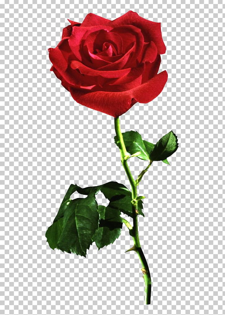 Garden Roses Cabbage Rose Red Floribunda Flower PNG, Clipart, Cabbage Rose, Floribunda, Flower Flower, Garden Roses, Rose Red Free PNG Download