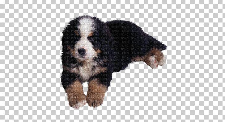 Bernese Mountain Dog Entlebucher Mountain Dog Golden