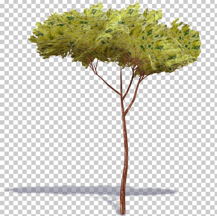 Stone Pine Tree Pinus Nigra Plant Digital PNG, Clipart, 3d Computer