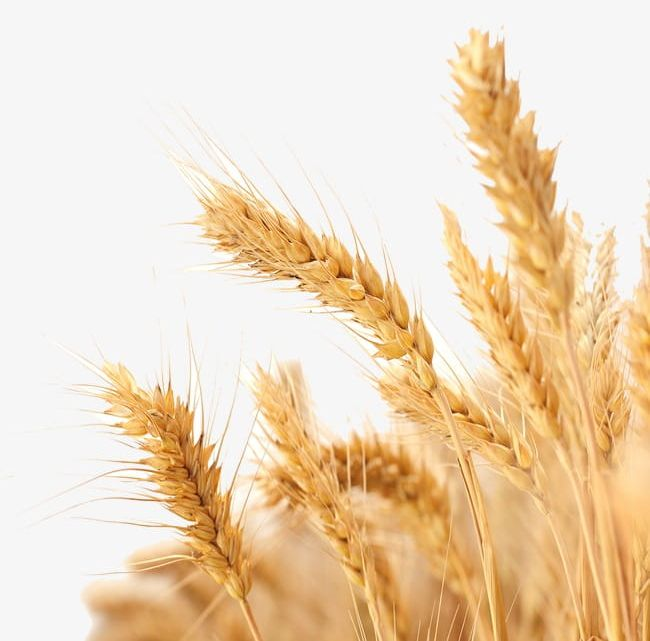 Wheat PNG, Clipart, Crops, Golden, Wheat, Wheat Clipart Free PNG Download