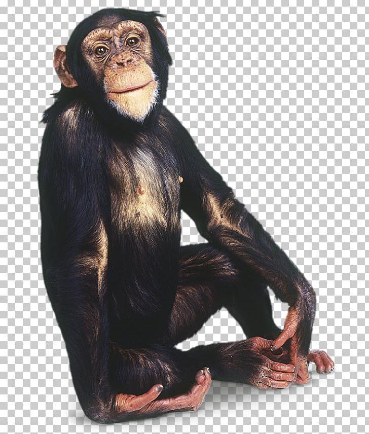 Chimpanzee Gorilla Primate Monkey PNG, Clipart, Animal, Animals, Ape, Bonobo, Chimpanzee Free PNG Download