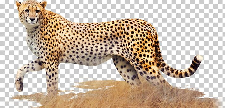 Cheetah Leopard Jaguar Cat Terrestrial Animal PNG, Clipart