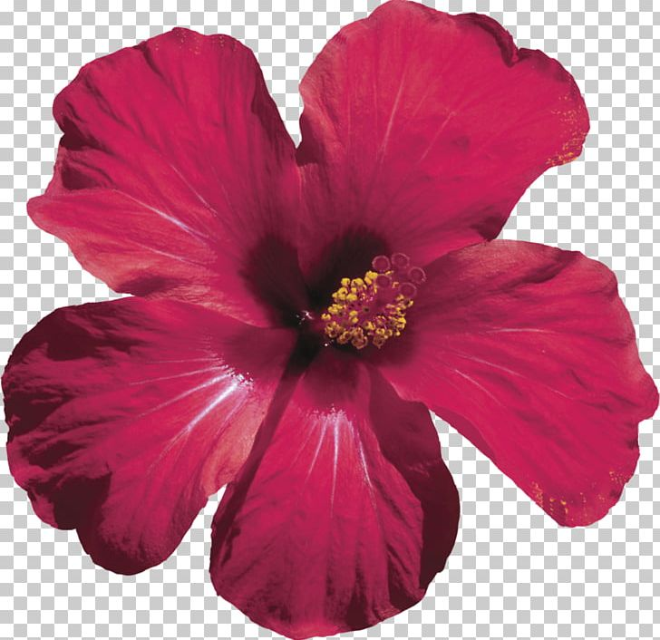 Hibiscus Tea Roselle Shoeblackplant Flower Png Clipart Annual