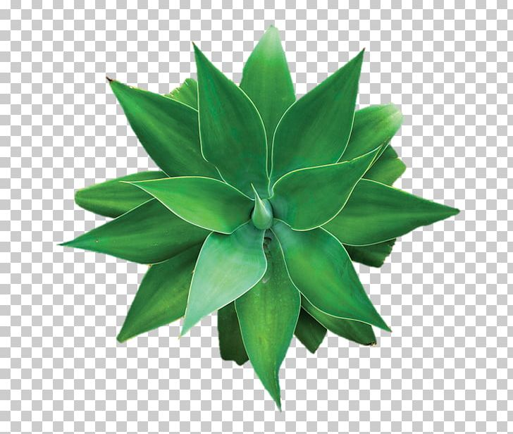 Coconut Water Aloe Vera Agave Succulent Plant Png Clipart Agave