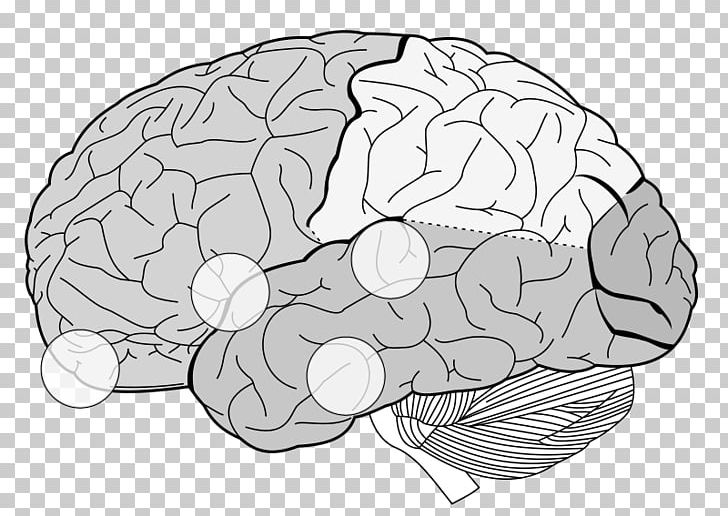 Lobes Of The Brain Frontal Lobe Parietal Lobe Temporal Lobe PNG, Clipart, Anatomy, Area, Brainstem, Cerebral Cortex, Cerebrum Free PNG Download