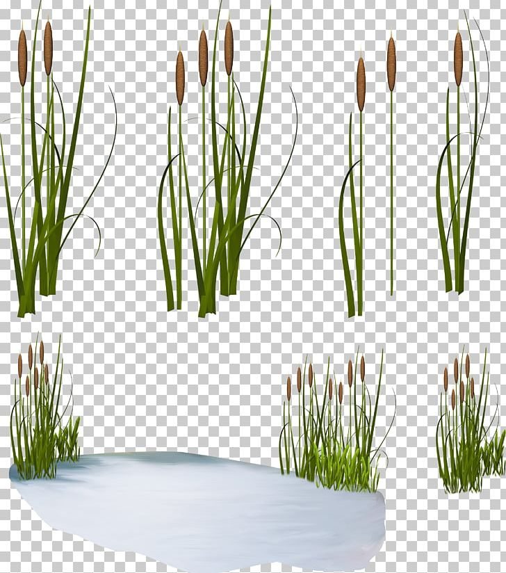 Scirpus Common Reed Png Clipart Art Green Clip Art Common Reed Drawing Flower Free Png Download
