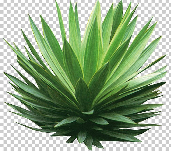 Plant Tree Shrub Drawing PNG, Clipart, Agave, Agave Azul, Agave Nectar, Aloe, Architecture Free PNG Download