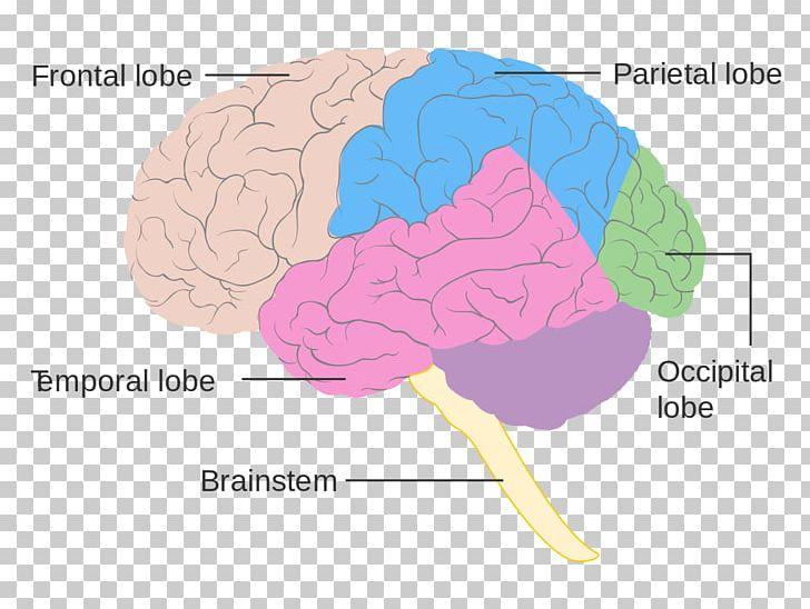 Lobes Of The Brain Frontal Lobe Diagram Human Brain PNG, Clipart, Anatomy, Brain, Cerebral Cortex, Cerebral Hemisphere, Cerebrum Free PNG Download