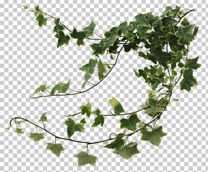 Common Ivy Houseplant Devil's Ivy Vine PNG, Clipart, Branch, Common Ivy, Devils Ivy, Fatshedera Lizei, Flowering Plant Free PNG Download