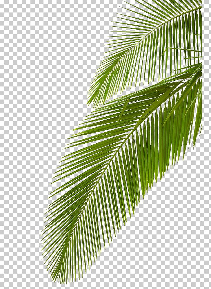 Arecaceae Leaf Stock Photography Palm Branch PNG, Clipart, Arecaceae, Arecales, Coconut, Green, Green Leaf Free PNG Download