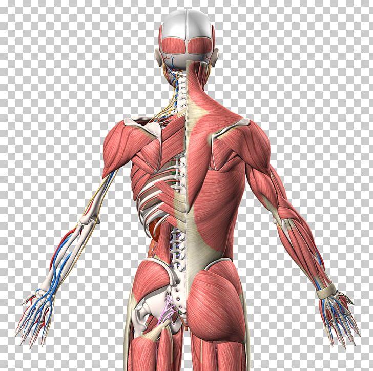 Muscle Homo Sapiens Human Anatomy Human Back PNG, Clipart