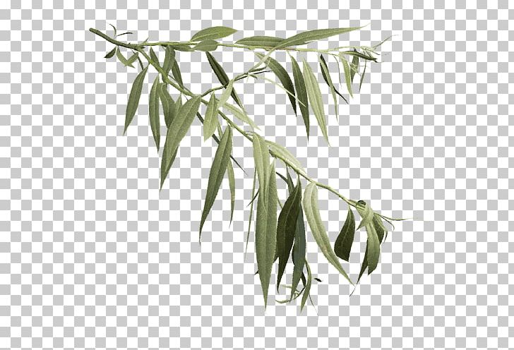 Salix Alba Askur Weeping Willow Tree Leaf Png Clipart Ash Askur Bamboo Black And White Branch,Best Cheap Champagne For Wedding Toast