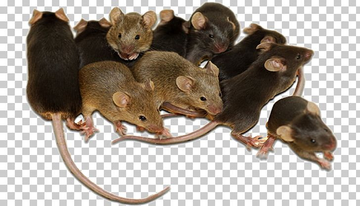Rodent Mouse Rat Cockroach Pest Control PNG, Clipart, Ant