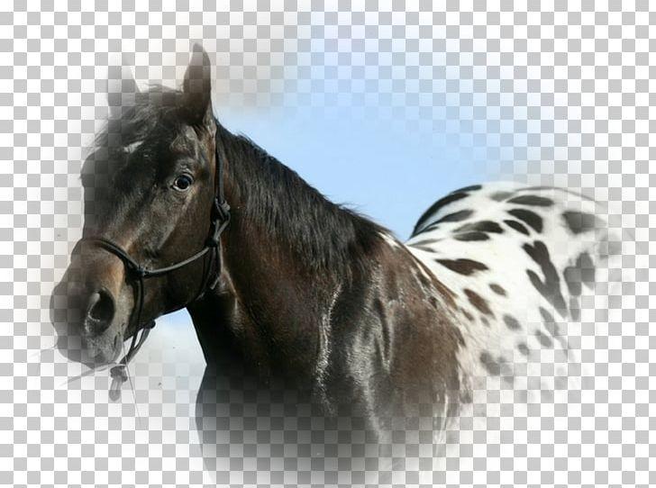 Appaloosa Horse Club American Quarter Horse Knabstrupper