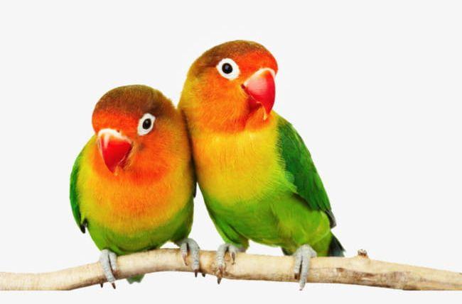 Parrot PNG, Clipart, Bird, Branch, Cute, Cute Bird, Cute Parrot Free PNG Download